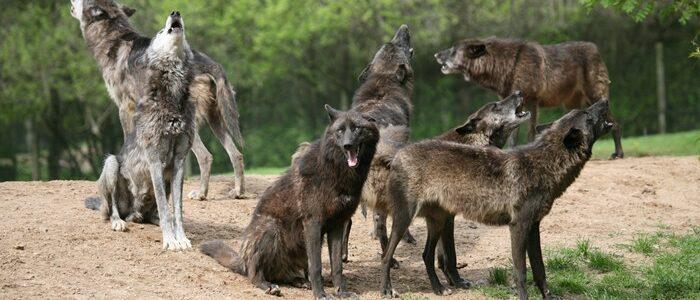 givskudzoo_canadian_wolves
