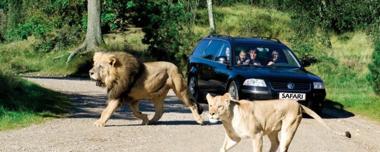 givskudzoo_safari_car_lions_a_rgb