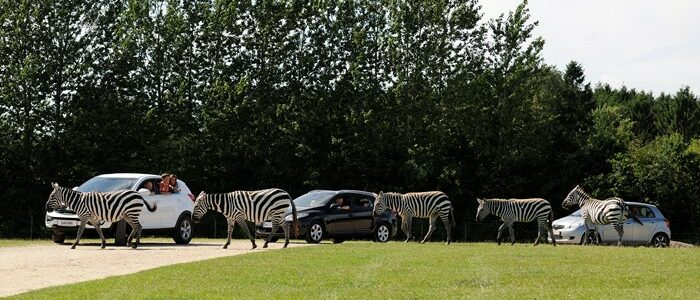 givskudzoo_safari_car_zebras
